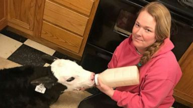 Family farm brings calves into the kitchen with South hit by record cold